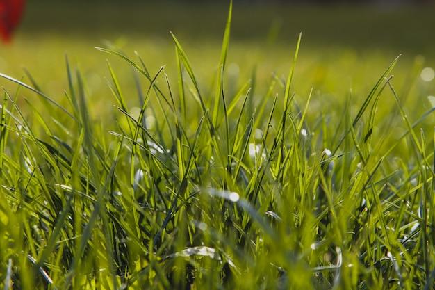 Chiuda su di erba spessa fresca con le gocce di acqua nel primo mattino