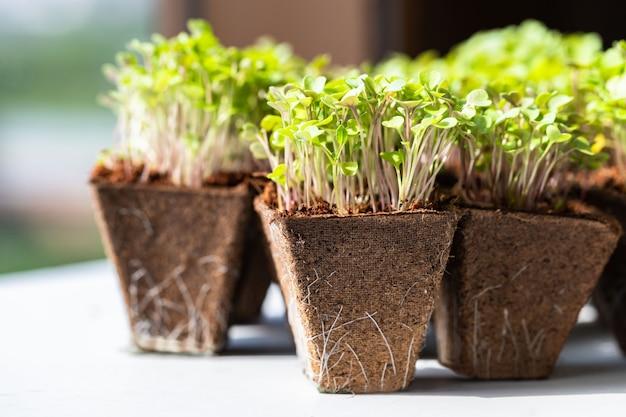 Chiuda su di giovane rucola dei germogli verdi con le radici in vaso di torba biodegradabile per la piantina