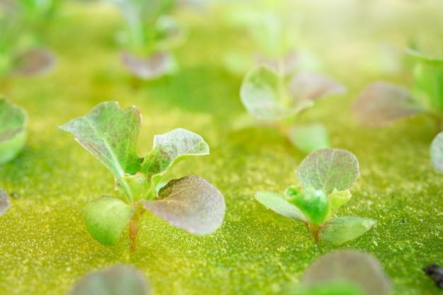 Chiuda su, insalata verde che coltiva la verdura sana dell'insalata verde di oganic.