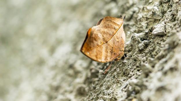 Chiuda su un'immagine di una caduta marrone della farfalla sulla parete