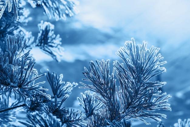 Chiuda sugli aghi del pino coperti di gelo bianco il giorno di inverno