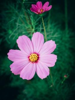 Chiuda sui bei fiori dell'universo nella fioritura