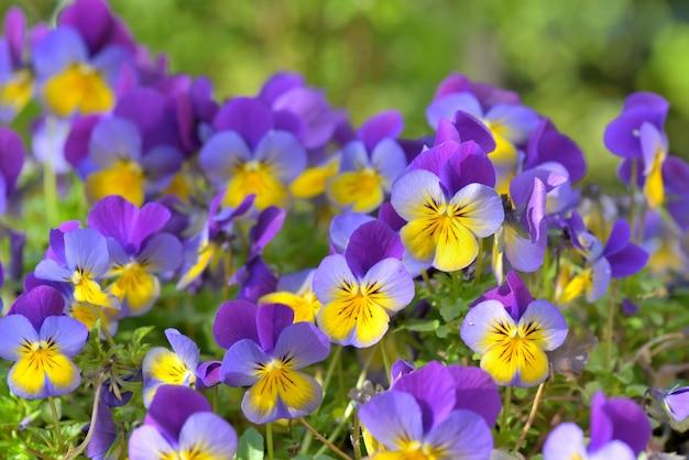 Chiuda sui bei fiori porpora e gialli che fioriscono in un giardino