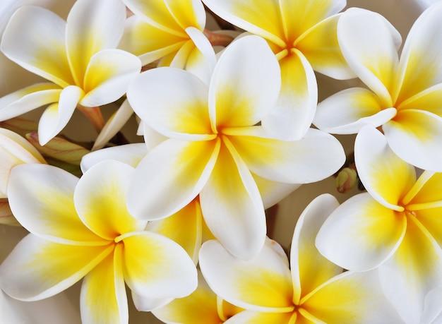 Chiuda sui fiori del frangipane per backgound