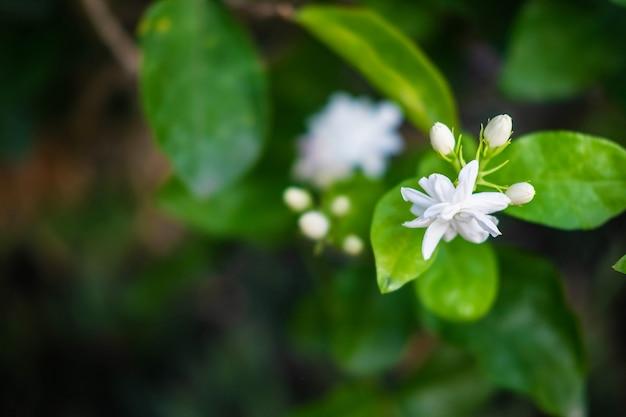 Chiuda sui fiori del gelsomino in un giardino