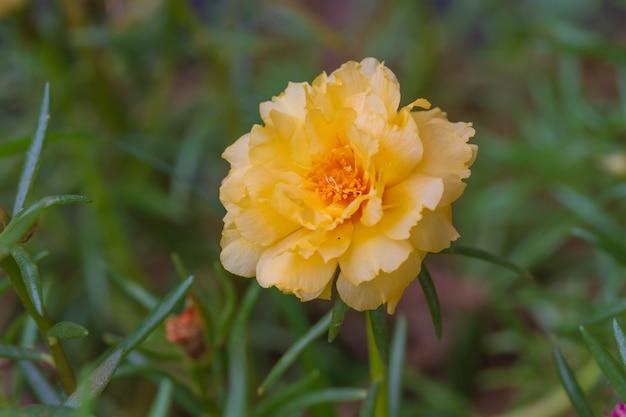 Chiuda sui fiori di portulaca