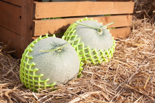 Chiuda sui meloni freschi con rete sostenuta su paglia