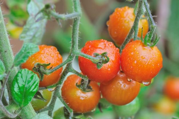 Chiuda sui pomodori ciliegia coperti di gocce che crescono in un orto