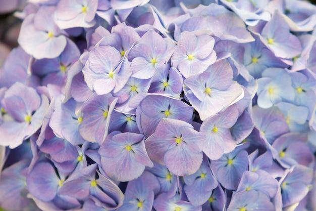 Chiuda sul bello fiore dell'ortensia
