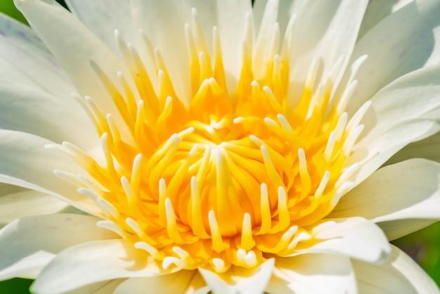 Chiuda sul bello fiore di loto bianco con la foglia verde