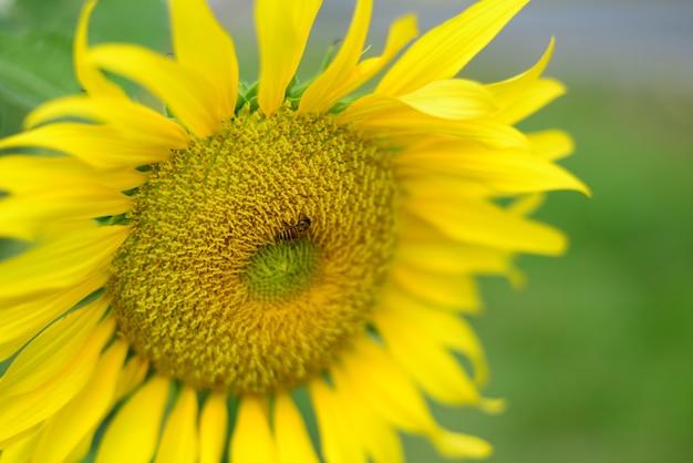 Chiuda sul bello fiore di sun con la piccola ape