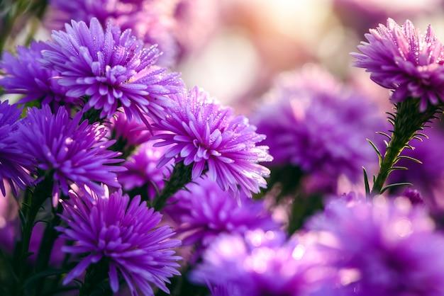 Chiuda sul bello fiore nel giardino della natura, fiori della taglierina e della lavanda dell'estate