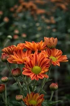 Chiuda sul bello fiore rosso del crisantemo in giardino