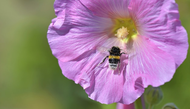 Chiuda sul bombo sul fiore dentellare su priorità bassa verde