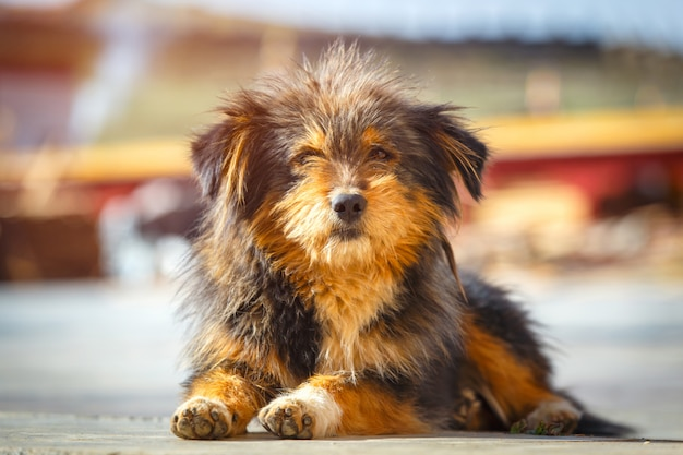 Chiuda sul cane di pastore dell'himalaya che si rilassa alla via della città di ganzi, cina