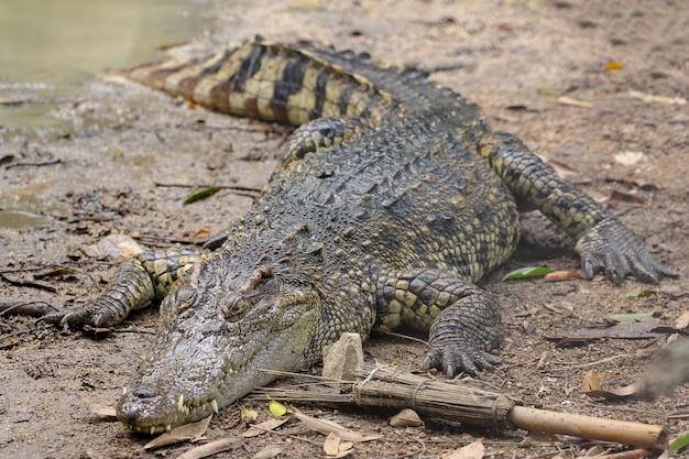 Chiuda sul coccodrillo vicino al fiume in tailandia.