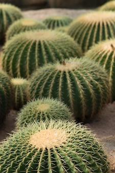 Chiuda sul colpo di un gruppo di grande cactus