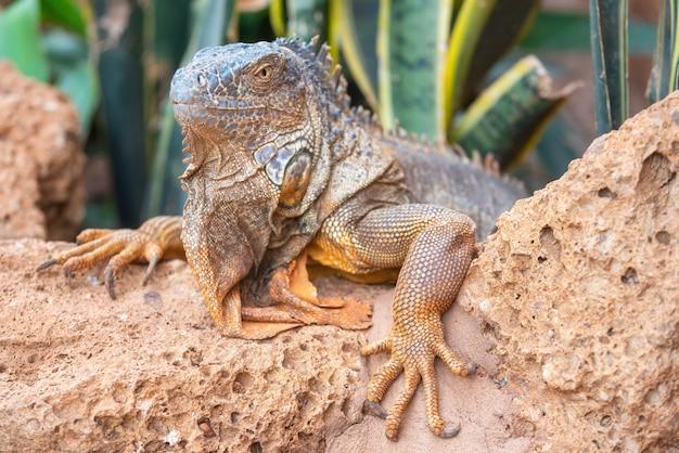 Chiuda sul colpo di un'iguana arancio nel paesaggio desertic.