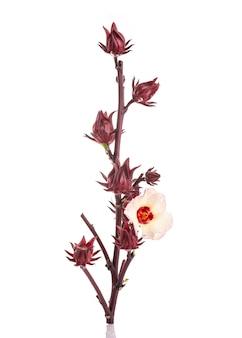 Chiuda sul colpo rosso fresco dello studio di roselle isolato su bianco