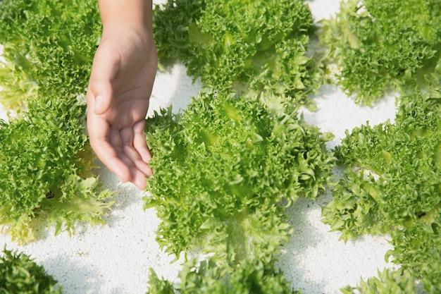 Chiuda sul coltivatore della mano in giardino idroponico durante il fondo dell'alimento di mattina