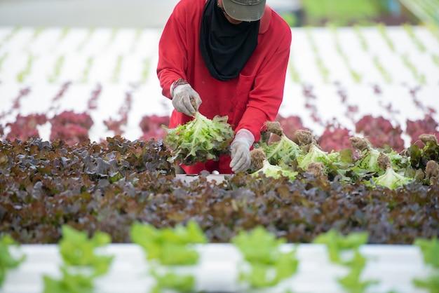 Chiuda sul coltivatore della mano in giardino idroponico durante la mattina