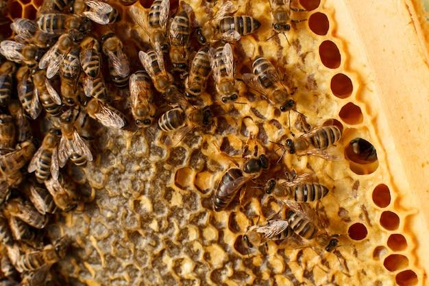 Chiuda sul favo nel telaio di legno con le api su