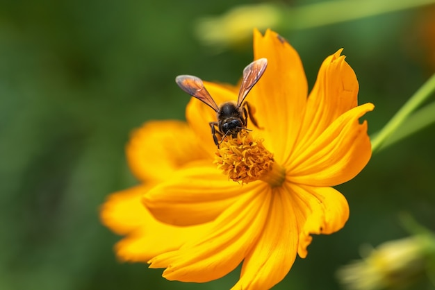 Chiuda sul fiore cosmos arancione e ape