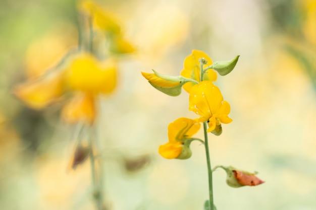 Chiuda sul fiore del sunhemp in giardino