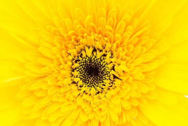 Chiuda sul fiore della gerbera