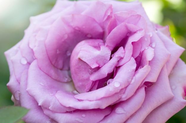 Chiuda sul fiore della rosa di porpora