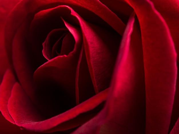 Chiuda sul fiore della rosa rossa