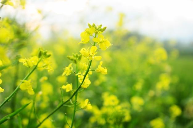 Chiuda sul fiore giallo di napus del brassica