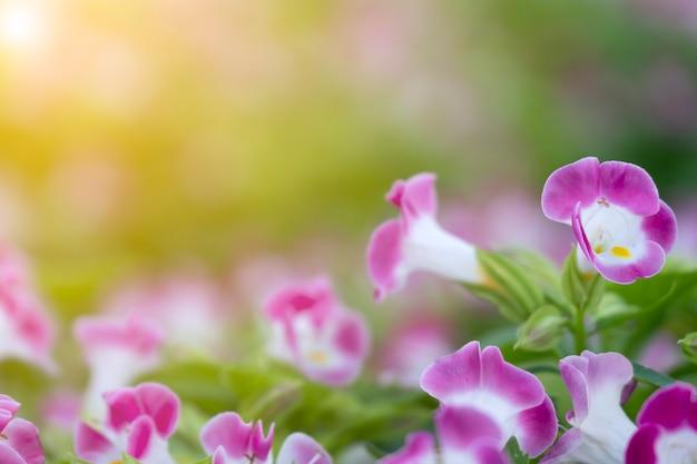 Chiuda sul fiore porpora e bianco su foglie vaghe della pianta con luce solare gialla