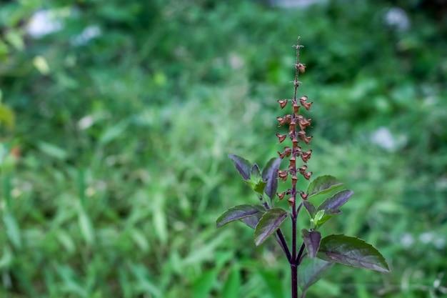 Chiuda sul fiore rosso del basilico sull'albero di basilico rosso