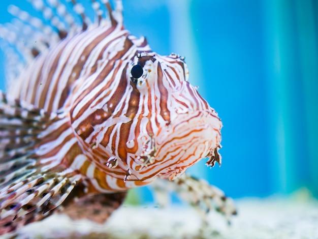 Chiuda sul firefish del diavolo o del diavolo che nuota su un fondo blu