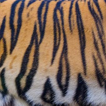 Chiuda sul fondo di struttura della pelle della tigre