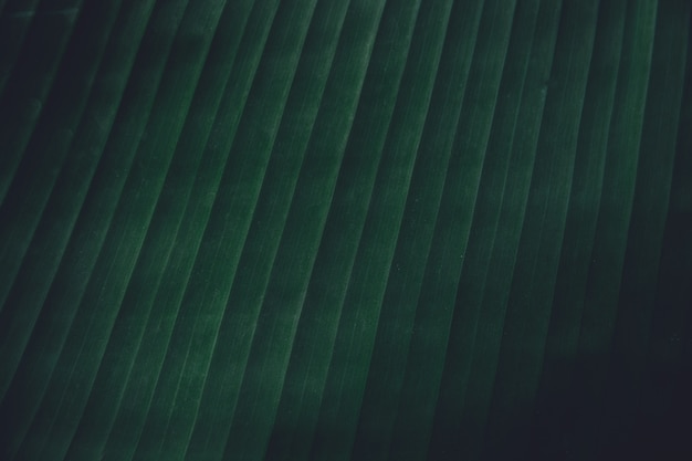 Chiuda sul fondo tropicale di struttura delle foglie della banana. foglie natura sfondo tono verde scuro