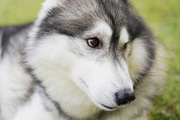 Chiuda sul fronte del cane del husky siberiano che pone l'erba verde
