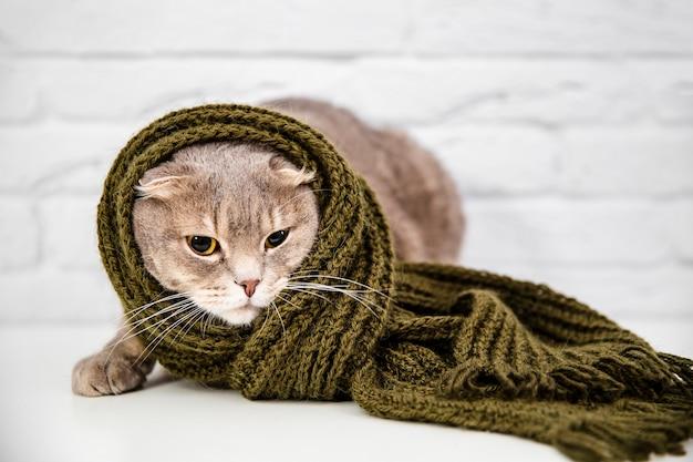 Chiuda sul gatto sveglio in sciarpa verde