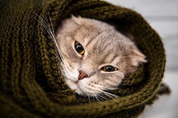 Chiuda sul gatto sveglio in sciarpa