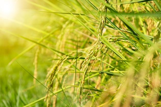 Chiuda sul giacimento organico del riso del gelsomino su fondo vago verde con luce solare.