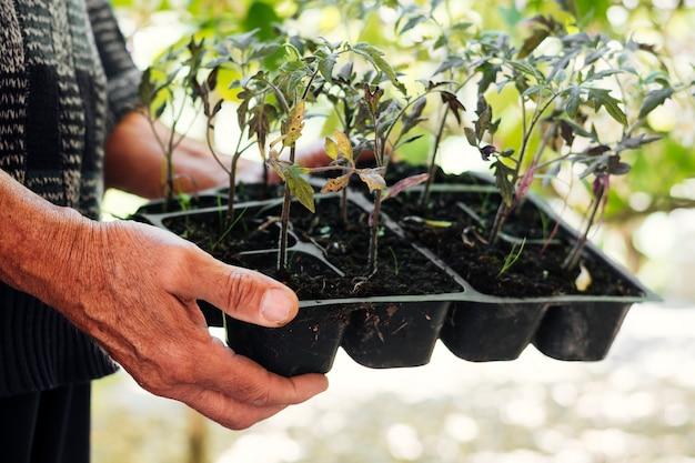Chiuda sul giardiniere che tiene un vassoio di semina