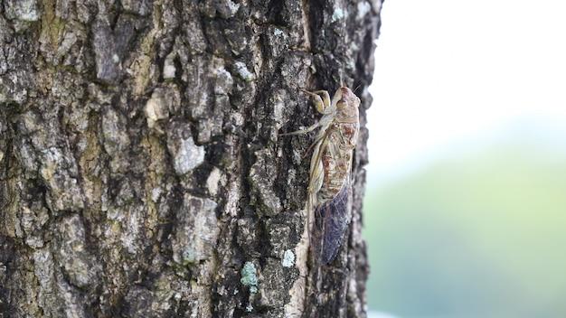 Chiuda sul grande insetto marrone della cicala ai grandi alberi con il fondo dello spazio della copia.