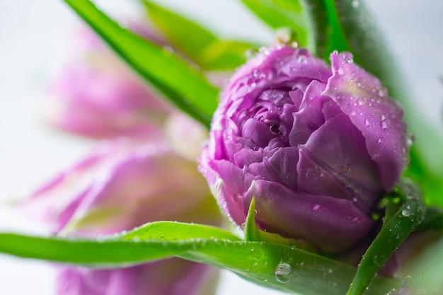 Chiuda sul macro bello mazzo porpora fresco dei tulipani