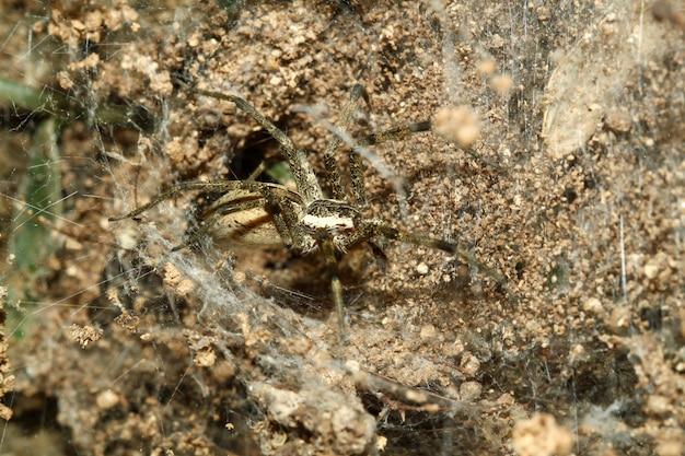 Chiuda sul ragno sulla ragnatela in caverna della sabbia alla natura tailandia