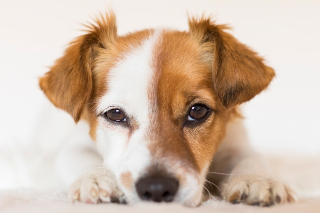 Chiuda sul ritratto di un giovane cane piccolo e carino su animali domestici al chiuso. amore per il concetto di animali.