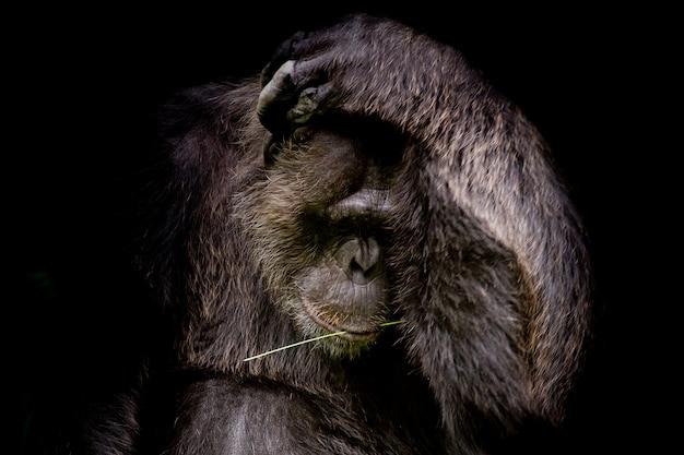 Chiuda sul ritratto gorilla del cutie isolato sul ritratto monocromatico nero