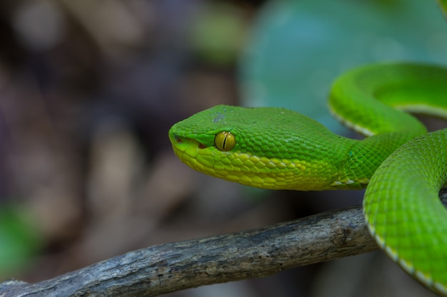 Chiuda sul serpente di pit viper di verde giallo-lipped