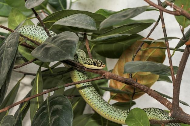 Chiuda sul serpente verde o sul ornata di chrysopelea sull'albero.