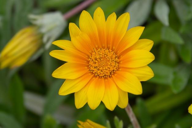 Chiuda sul tagete giallo della corona del fiore sul campo di verde dell'estate